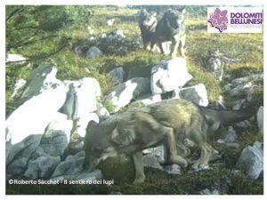 Fermo immagine di un video da fototrappola che ritrae tre cuccioli nel PNDB -  Roberto Sacchet - Il sentiero dei lupi